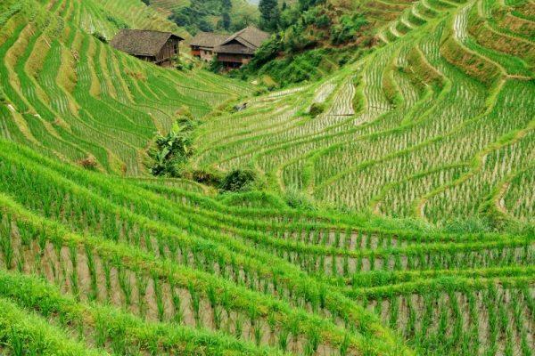 Dragons Backbone Rice Terraces