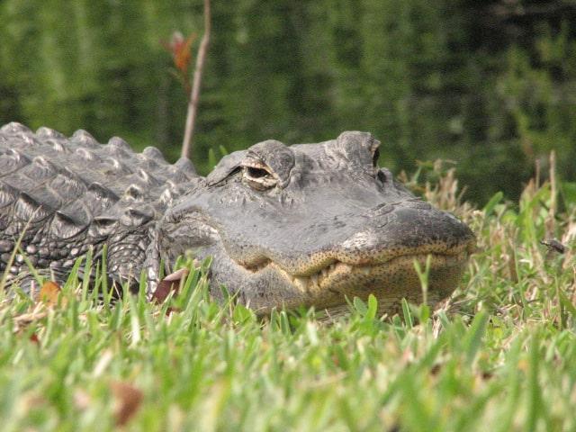 Alligator Antics