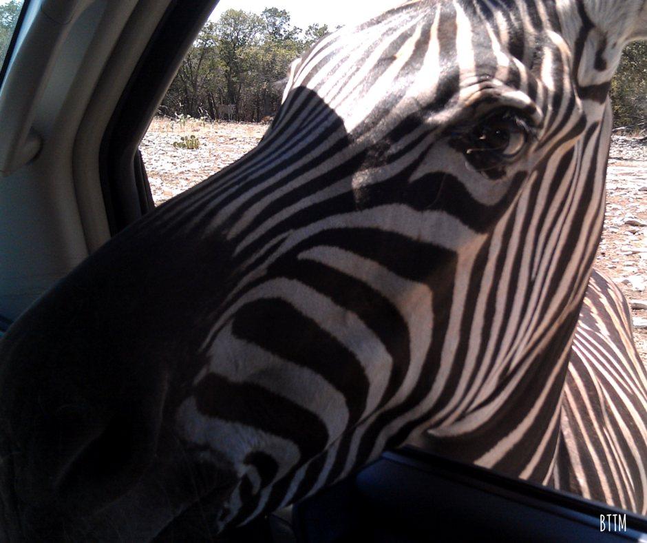 Natural Bridge Wildlife Ranch Zebra