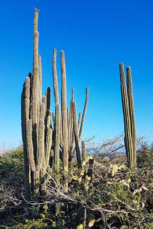 Excursions in Aruba Cactus in the desert