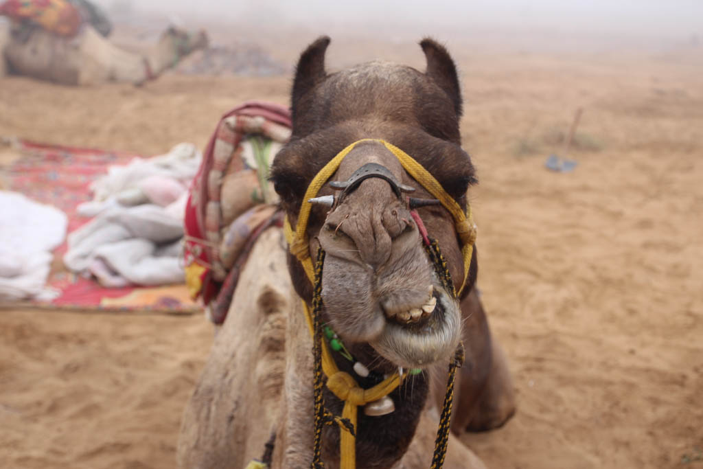 Volunteer Abroad Free and you can take care of camels in the Indian desert!