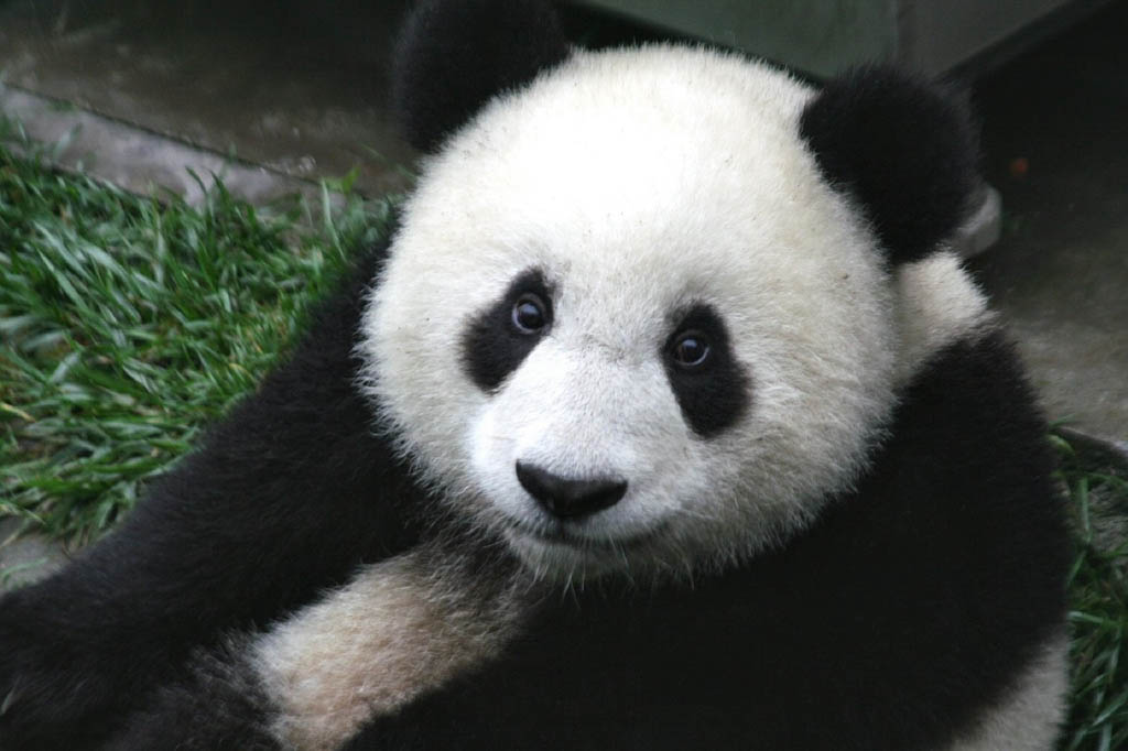 Picture of a Chinese Panda