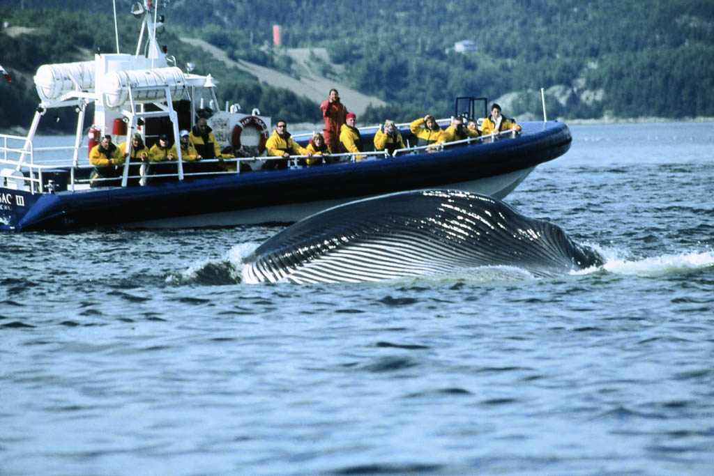 Whale Watching in Canada Tadoussac