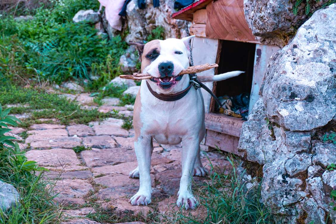 Photo of a white and brown dog named Brutus standing and holding a stick in his mouth