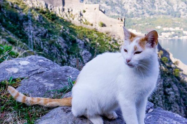 Photo of white cat with orange ears and tail and the old castle walls in the background