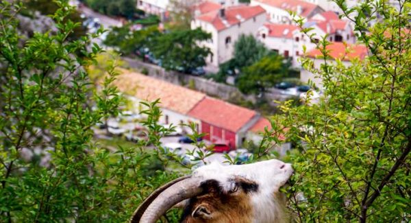 Photo of goat eating from a bush with the city and Sky Princess cruise ship in the background