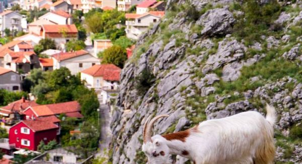 Photo of goat walking on the edge of the path with the town in the background